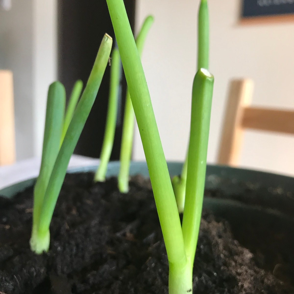 Reusing Food Scraps: Green Onions